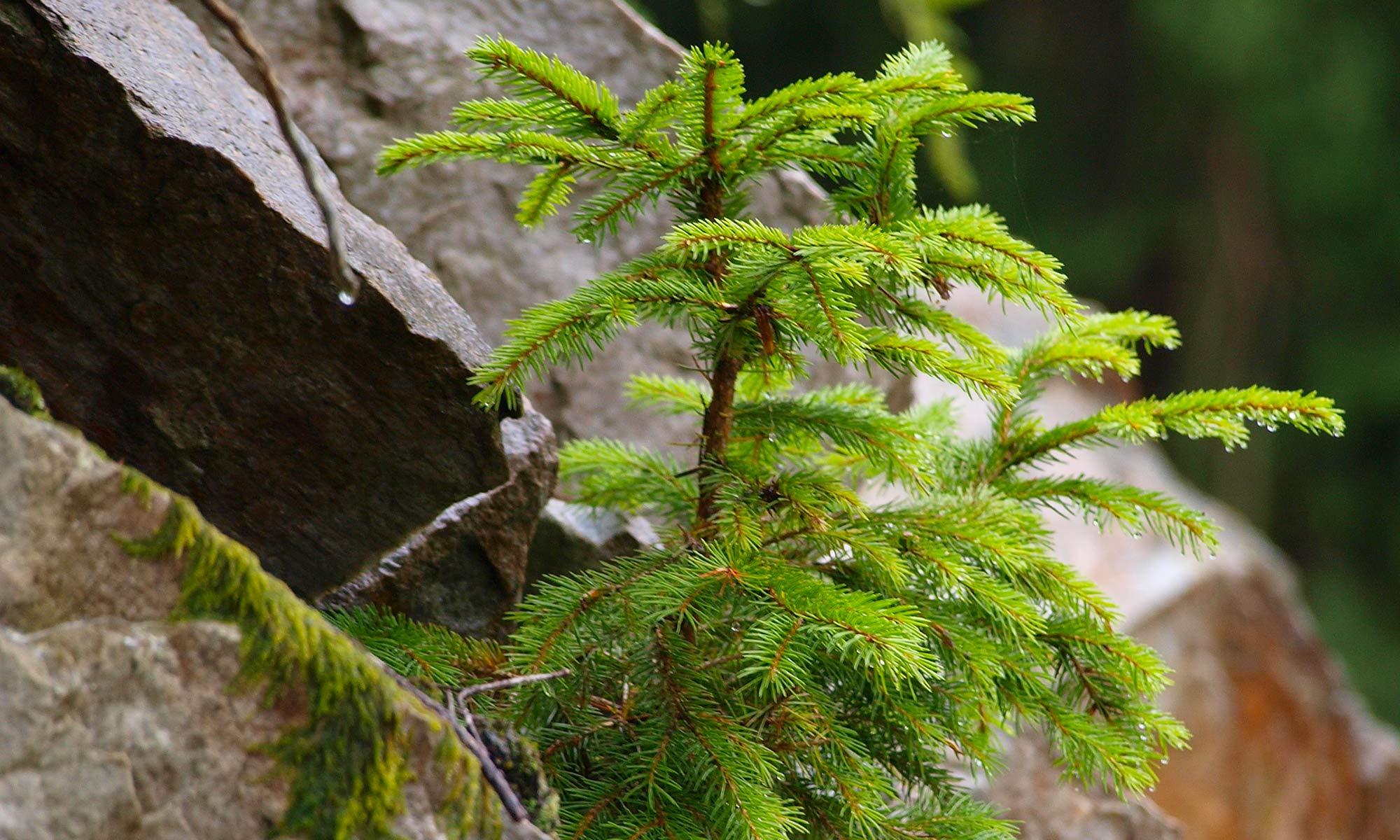 Forstpflanzen der FBG Oberallgäu e.V.